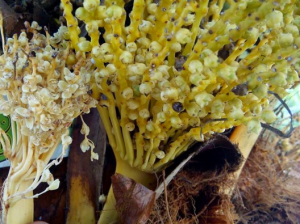 bunga kurma